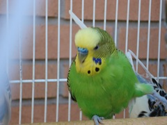 Ginger: Parakeet with crippled legs